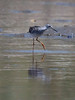 Lesser Yellowlegs, wading while searching for food, Phippsburg Maine, Atkins Bay on the Popham side