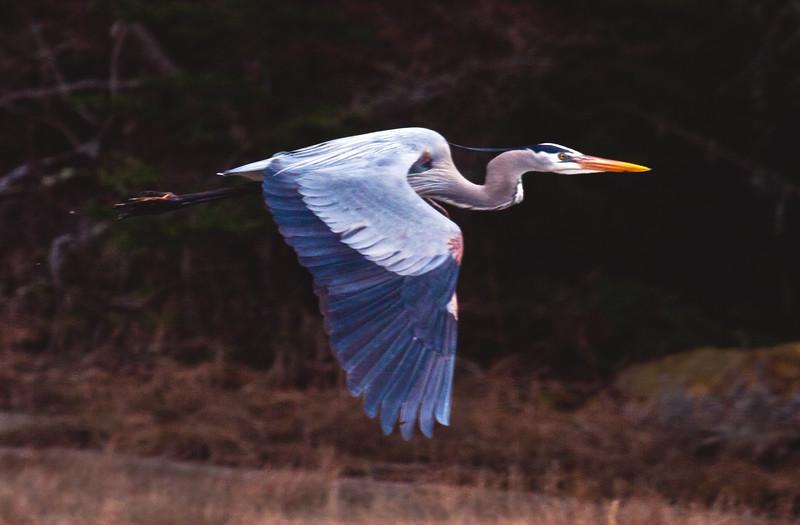 Great Blue Heron in flight, right facing, breeding plummage, Phippsburg Maine