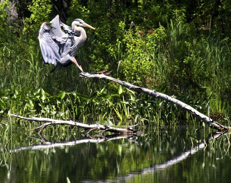 Great Blue Heron flight, landing on fallen tree in pond, right facing, summer, PHippsburg Maine