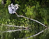 Great Blue Heron flight, landing on fallen tree in pond, right facing, summer, PHippsburg Maine