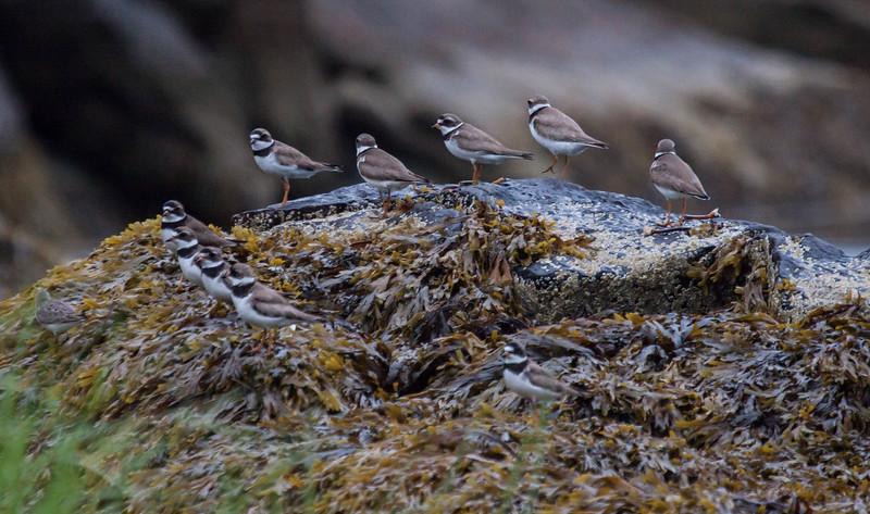 Semi-palmated plovers, Phippsburg, Maine migratory shore birds
