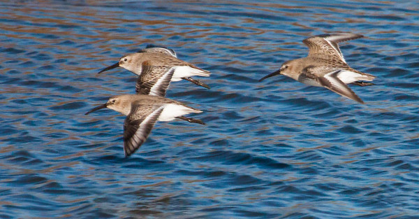 Dunlins are migratory in Maine, though in 2013, they continued to be seen into December in Phippsburg, Maine