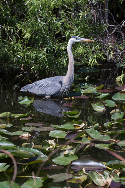 Great Blue Heron, a majestic wading bird. This was in- you guessed it - The Everglades National Park, Florida. GBHs are very common in Maine, but also very migratory. Once in a while, one will stay if it can find open water that's not frozen over.
