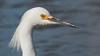 Snowy egret close up, April 21, 2014, Phippsburg, Maine