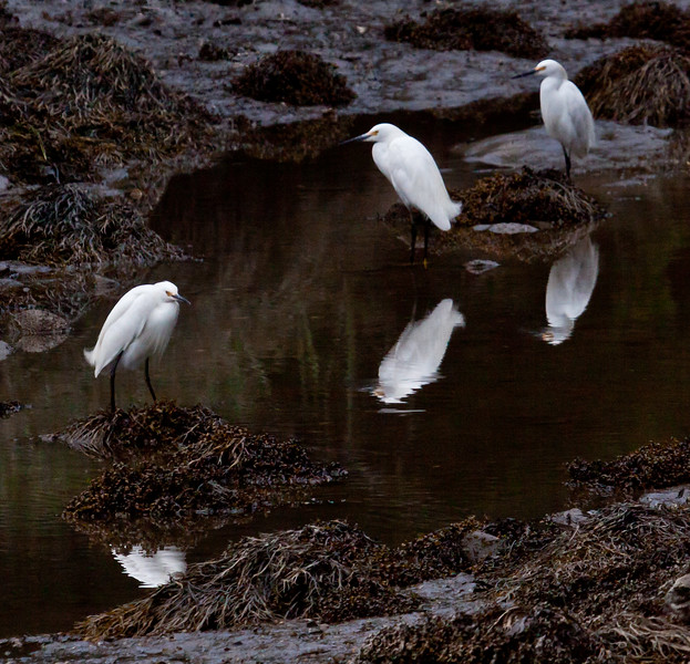 three Snowy egrets in tide pool, July, Phippsburg, Maine Egretta thula