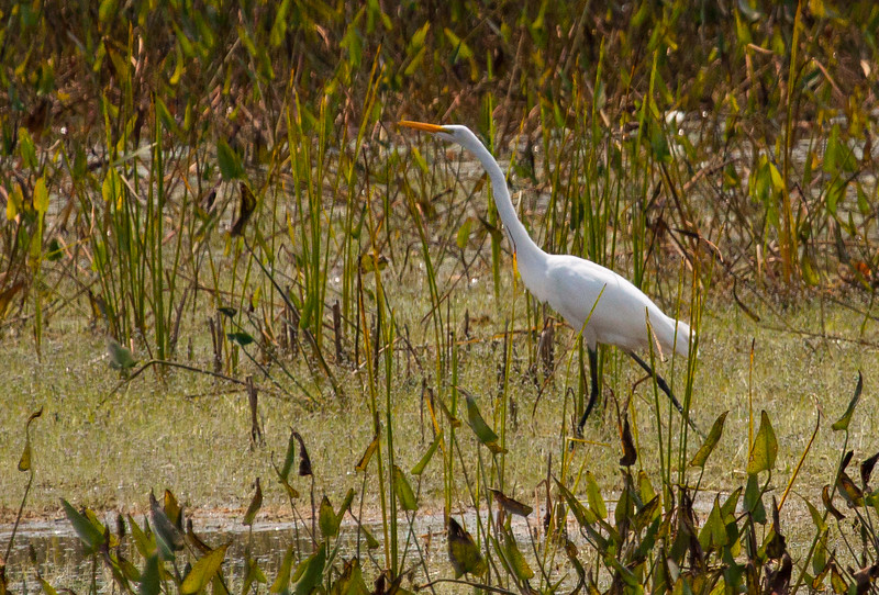 Great Egret,  (Ardea alba), Great egret in Phippsburg Maine, Center Pond, late August