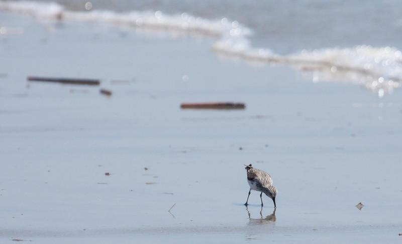Semi-Palmated Sandpiper, Phippsburg Maine beach scene, May