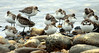 Assorted Sandpipers And Plovers, Phippsburg, Maine
