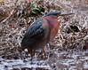 , Phippsburg, Maine Green Heron