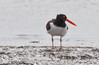 Oyster Catchers are uncommon shorebirds in Maine, tidal and beach habitat