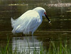 Snowy Egret, close up, fishing and catching fish, Phippsburg, Maine migratory shore bird