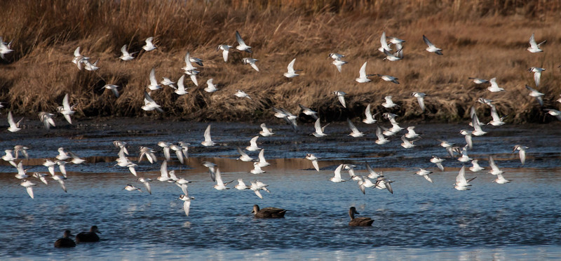 Dunlins in flight. Dunlins are migratory in Maine, though in 2013, they continued to be seen into December in Phippsburg, Maine