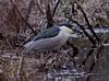 Black Crowned Night Heron fishing in swamp, West Point, Phippsburg, Maine predatory wading bird