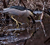 Black-crowned Night Heron, Phippsburg, Maine Black-crowned Night Heron
