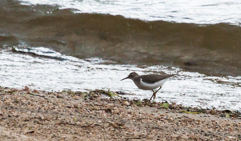 Spotted Sandpiper, Actitis macularius syn. Actitis macularia is a migratory shorebird in Maine. This one was feeding on a small beach on Androscoggin Lake in North Monmouth, Maine in early August