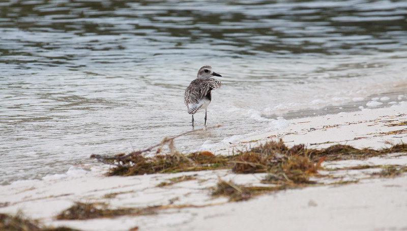 Black Bellied Plovers are the only North American Plover with a hind toe on their feet.