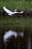 Snowy egret taking flight from water, tidal salt marsh, Phippsburg Maine