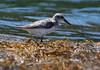 Sandpiper, Phippsburg, Maine, migratory shore bird