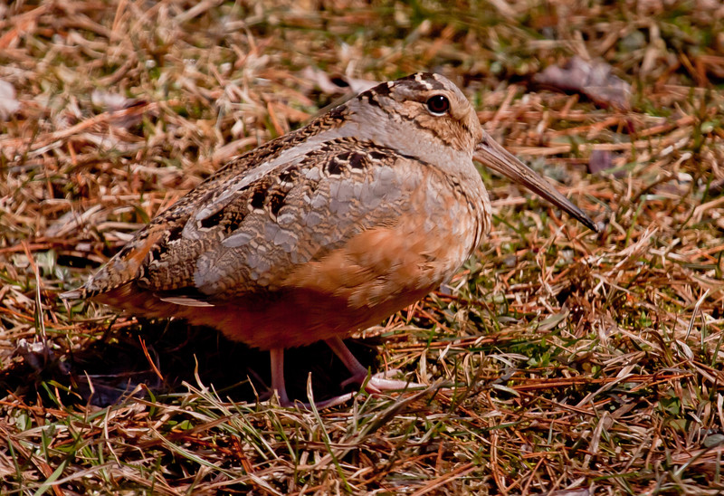 Woodcock are also called Timberdoodles. They are game birds in the family of plovers. Phippsburg, Maine