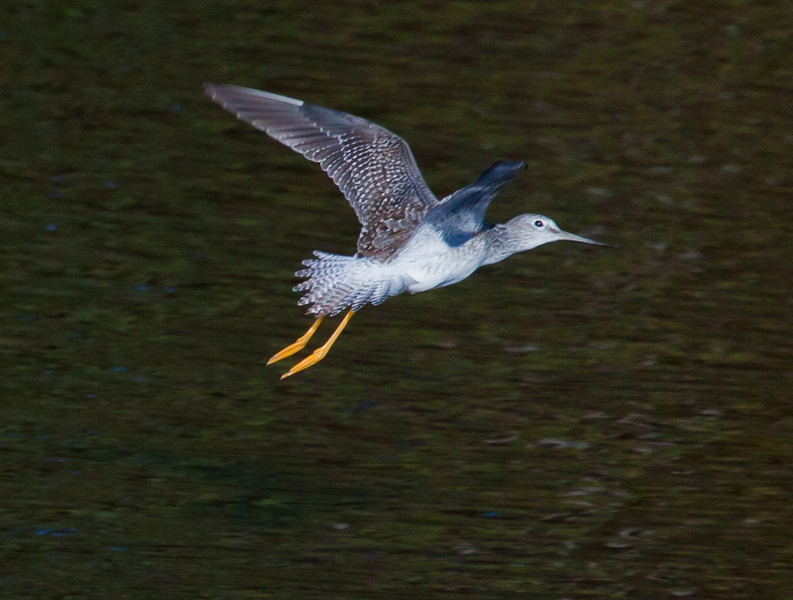 Greater Yellowlegs, Flight A