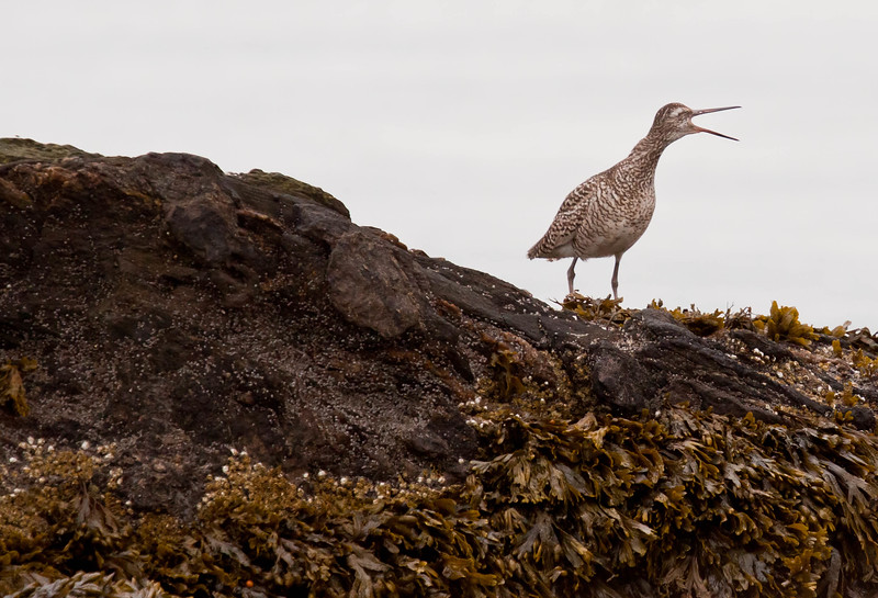 Willet, migratory shore bird, Phippsburg, Maine