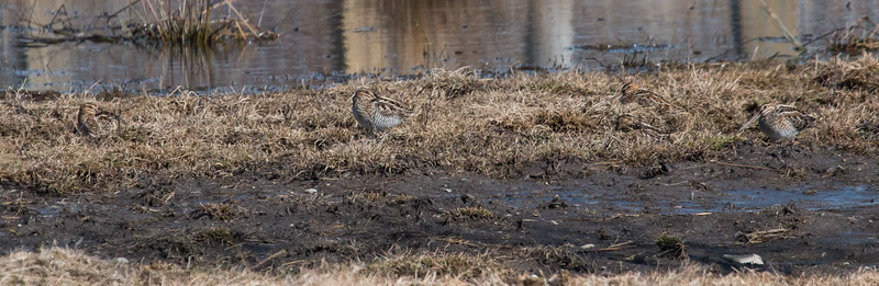 Woodcock, there were 11 that I could count in the spring flooded pasture, The Buffalo Ranch, North Bsth, Maine, Aprile 9, 2014