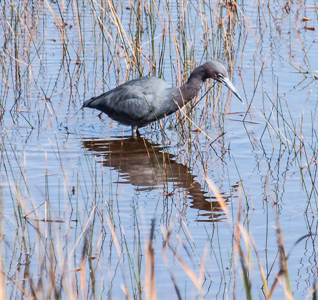 Little Blue Heron wading, The Everglades National Park. Maine occassionaly has a Little Blue Heron, especially at Scarborough Marsh, in you guessed it, Scarborough