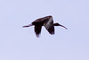 Glossy Ibis in flight, Phippsburg, Maine, May
