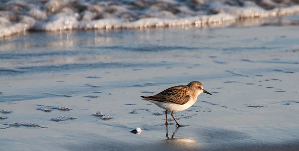 Sanderling, migratory shorebird, Phippsburg, Maine Seawall Beach