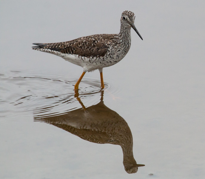Solitary Sandpiper, Evergreen Cemetery, Portland Maine May 9