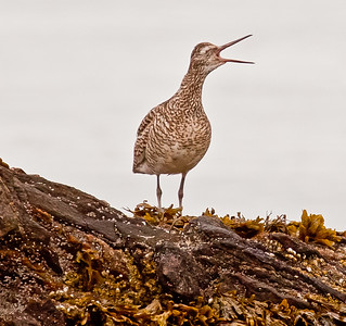 Willett vocalizing, Small Point, Phippsburg Maine, spring