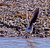 Greater Yellowlegs in flight, taking off from shore line, The Branch, Small Point Harbor, Phippsburg Maine