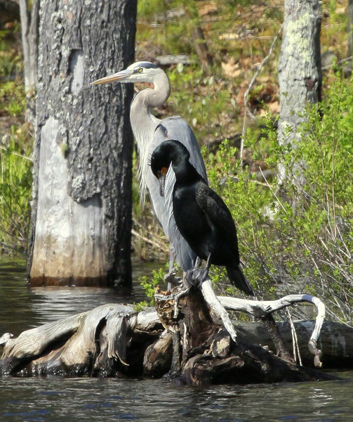 """Great Blue Heron standing with Double-crested Cormorant, also known as """"Shag."""" Bath, Maine, summer"""