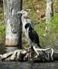 "Great Blue Heron standing with Double-crested Cormorant, also known as ""Shag."" Bath, Maine, summer"