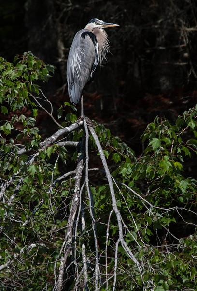 Great Blue Heron, Ardea herodias perched on snag, full breeding plumage, Phippsburg, Maine late July