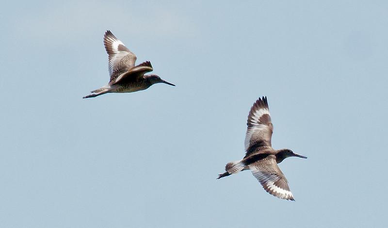 Willets in flight, Popham marsh, Phippsburg, Maine, June