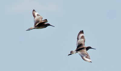Willets in flight, Popham marsh, Phippsburg, Maine, June