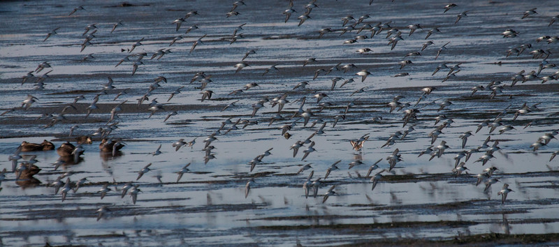 . Dunlins are migratory in Maine, though in 2013, they continued to be seen into December in Phippsburg, Maine