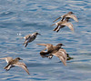 Purple Sandpipers In Flight
