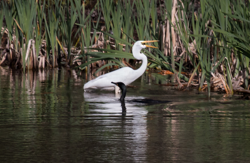 Great egret swallowing its catch while Double Crested Cormorant looks on. Bath, Maine, May 16, 2014