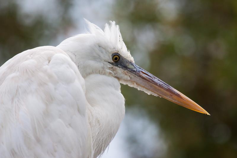 Great Egret head shot