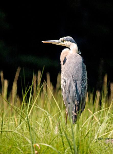 Great Blue Heron standing in marsh grass, left facing, summer, Phippsburg Maine