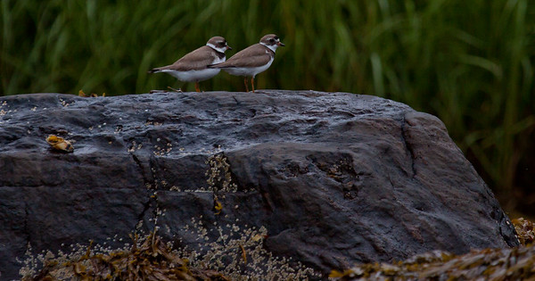 pair of Semi-palmated plovers on wet rocks with barnacles and seaweed, Totman Cove Preserve, North Creek, Small Point Harbor, Phippsburg Maine at the beginning of shorebird migration, late July. Sweet little peeps!