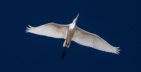 Great Egret in flight, Hermit Island, The Branch, Phippsburg Maine early September,