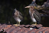 These are baby Green Herons. They were photographed in the wild but as you can see, they were standing on a rusted culvert. They were so comical I could hardly tear myself away from them! Baby birds are usually so homely, like these, that they are really cute!