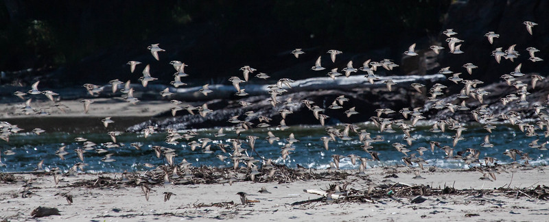 Migrating shorebirds, mixed flock of Semipalmated Sandpipers and Semipalmated Plovers, Phippsburg, Maine, Seawall Beach late July