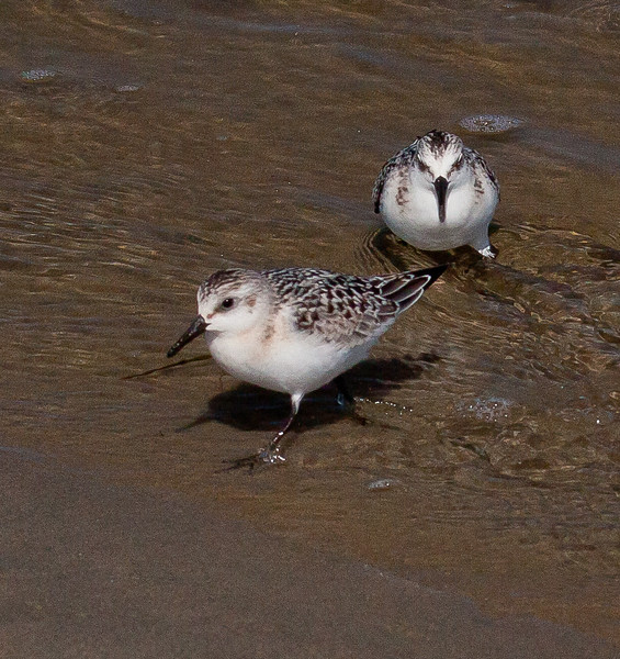 Semi Palmated Sandpipers, pair wading in tide, Phippsburg, Maine, Popham Beach State Park