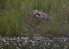"""Great Blue Heron catching a  """"mud cat, """" """"horned pout, """" """"hornpout, """"Mud pout, Ameiurus nebulosus, brown bullhead, catfish, Horn Pout, Hornpout, fresh water fish, Phippsburg, Maine June"""