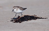 Semi-Palmted sandpiper in wrack line, Popham Beach State Park, Phippsburg Maine