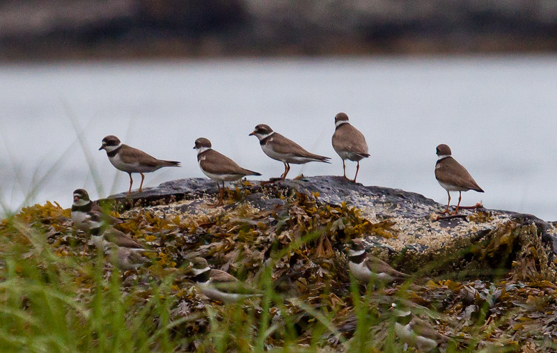 Semi-palmated plover flock on rocks with sea weed, North Creek Preserve, Sebasco Beach, beginning of fall shorebird migration, Phippsburg, Maine, end of July